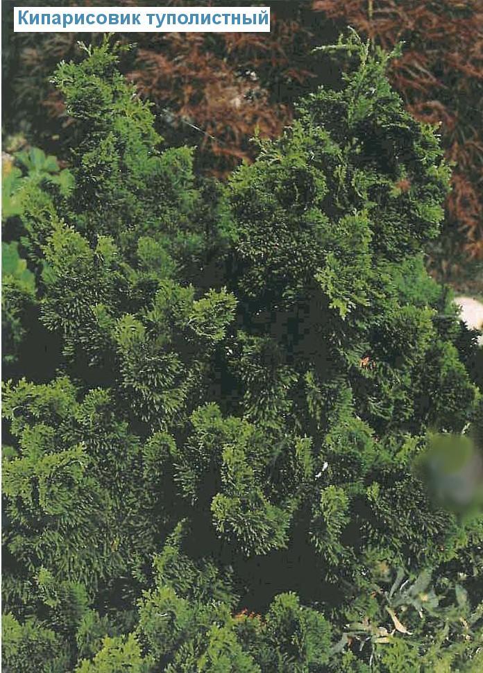 Кипарисовик туполистный