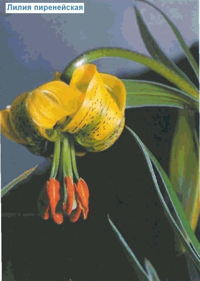 Лилия пиренейская