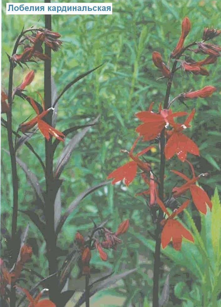 Лобелия кардинальская (<i>Lobelia cardinalis</i>)