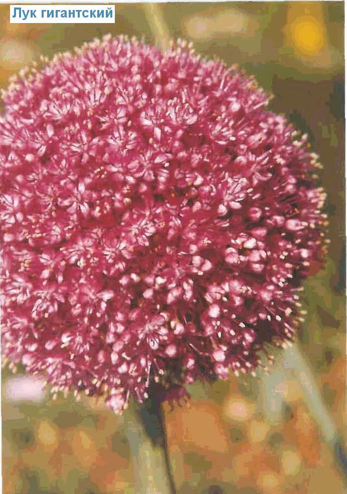 Лук гигантский (<i>Allium giganteum</i>)