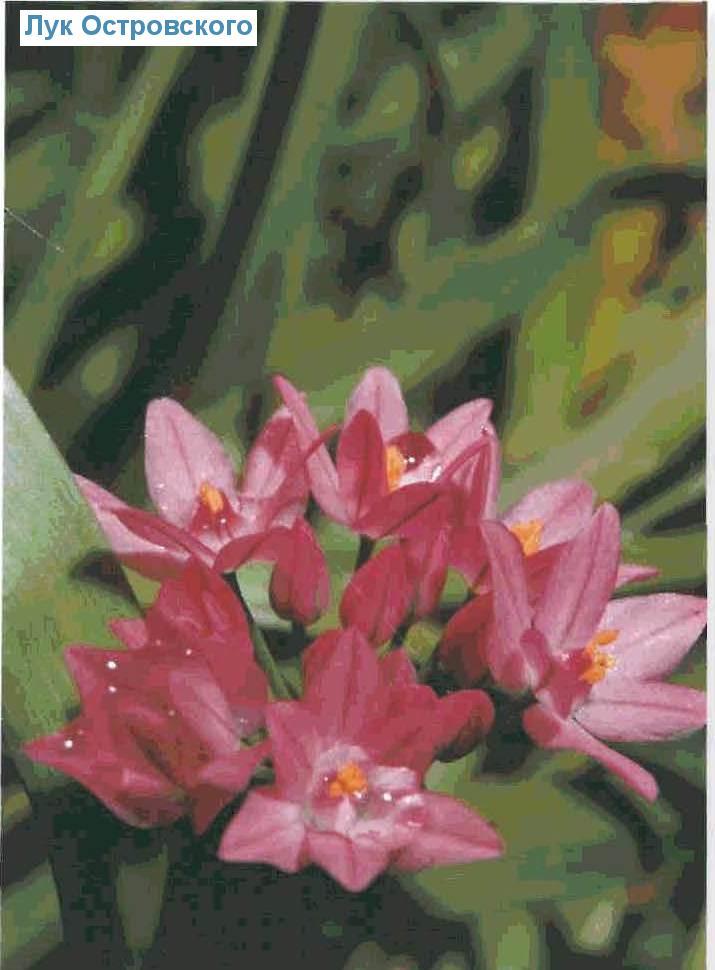Лук Островского (<i>Allium oreophilum</i>)