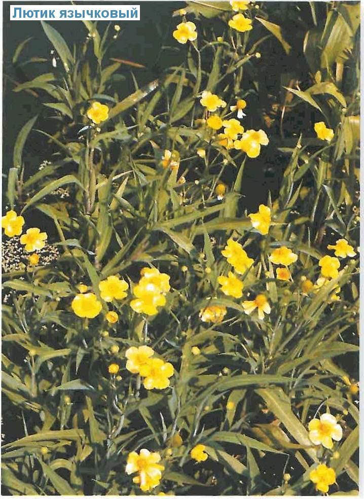 Лютик язычковый (<i>Ranunculus lingua</i>)