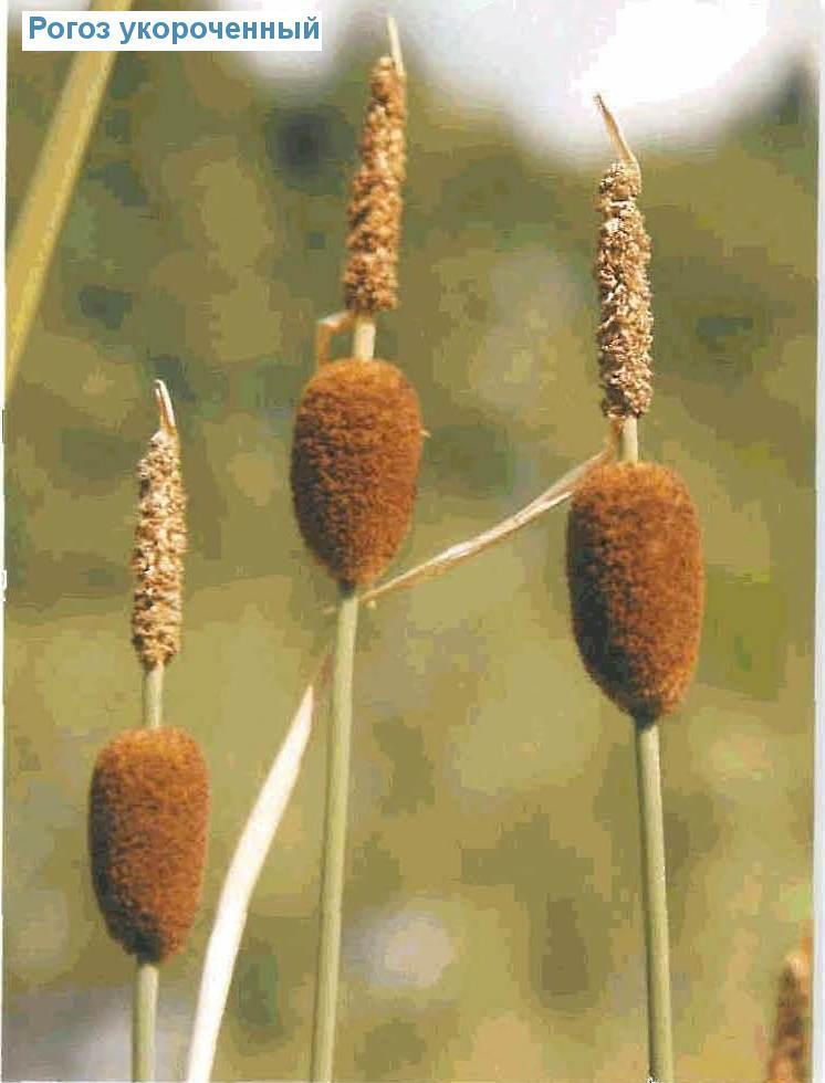 Рогоз укороченный (<i>Typha minima</i>)