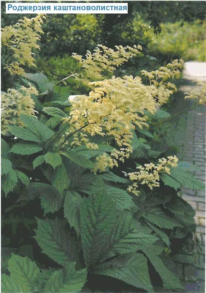 Роджерзия каштановолистная (<i>Rodgersia aesculifolia</i>)
