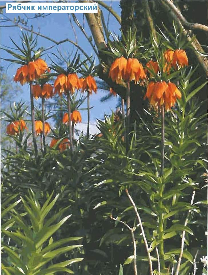Рябчик императорский (<i>Fritillaria imperialis</i>)