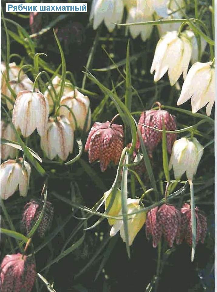 Рябчик шахматный (<i>Fritillaria meleagris</i>)