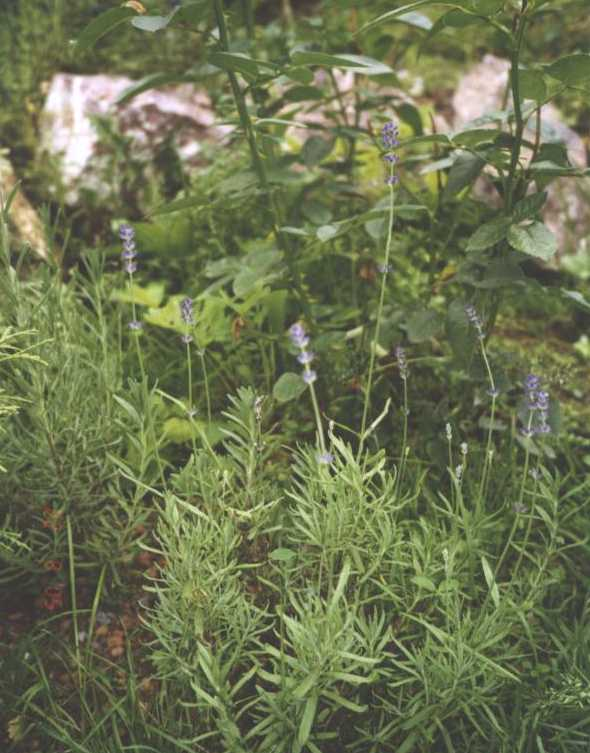 Лаванда (фото 1035)