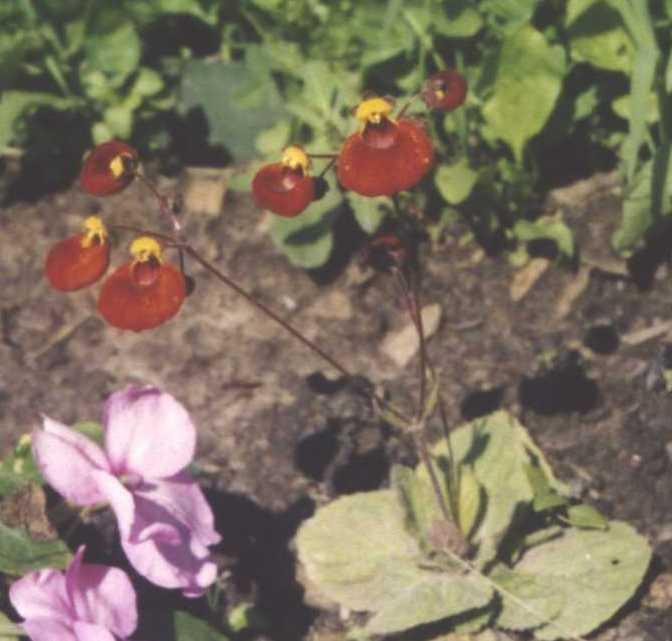 Кальцеолярия (фото 113)