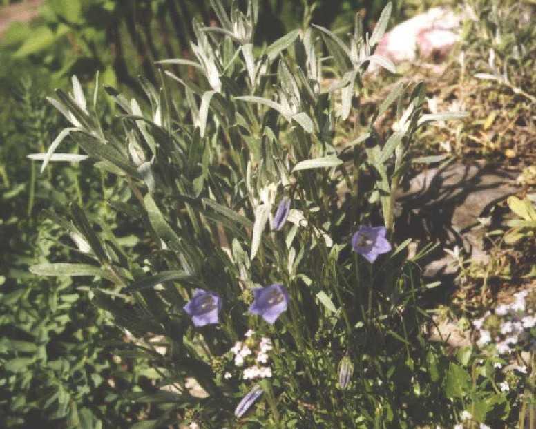 Эдельвейс (фото 1192)