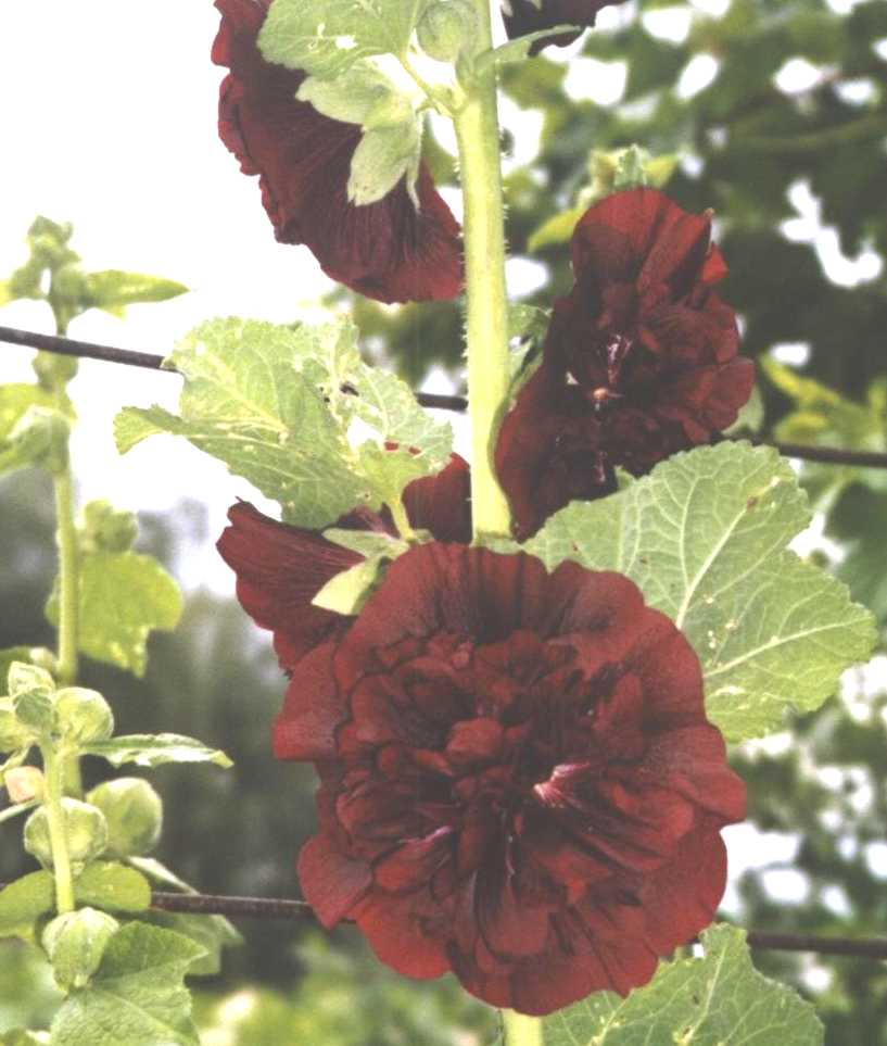 Шток-роза (фото 1301)