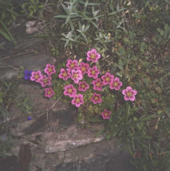 Камнеломка (фото 1632)