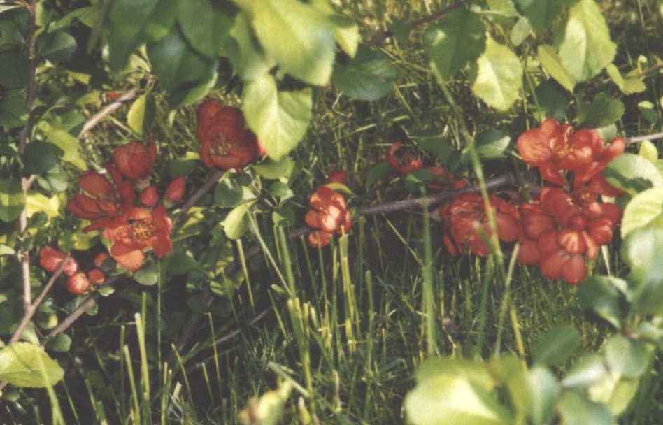 Хеномелес (фото 1646)