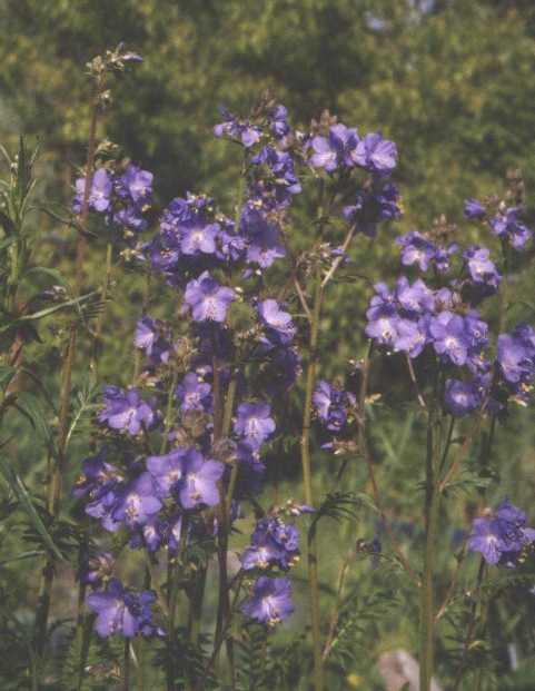 Синюха (фото 1658)