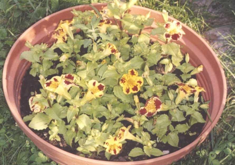 Мимулюс выращивание из семян когда сажать 83