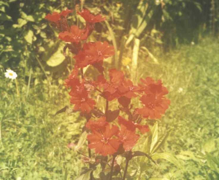 Горицвет (фото 1692)