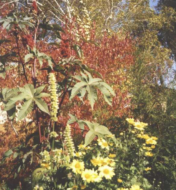 Хризантема (фото 1817)