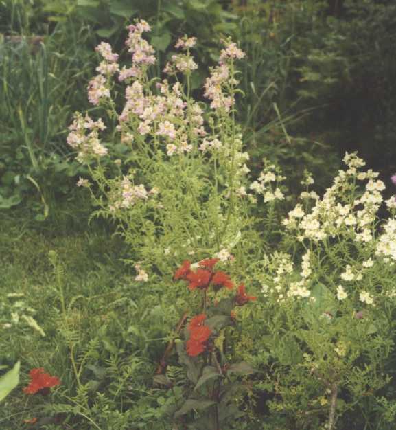 Горицвет (фото 1831)