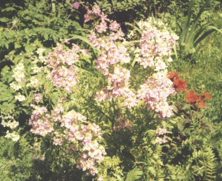 Горицвет (фото 1857)