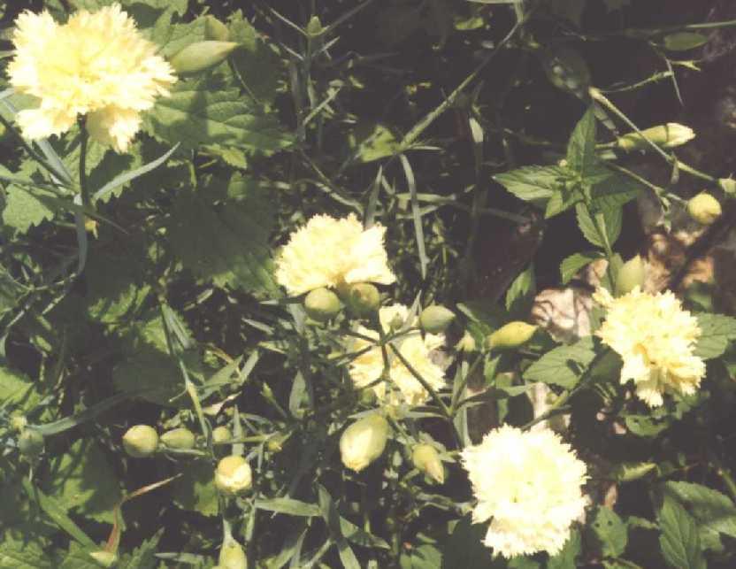 Гвоздика (фото 195)