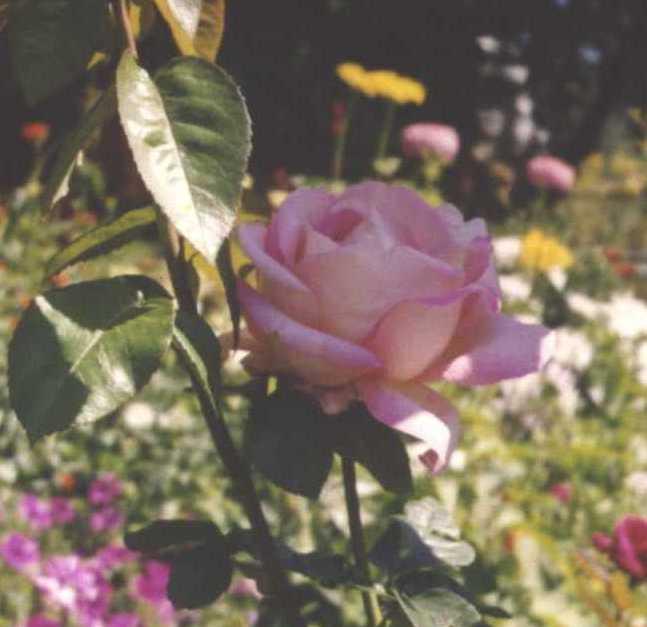 Роза (фото 197)
