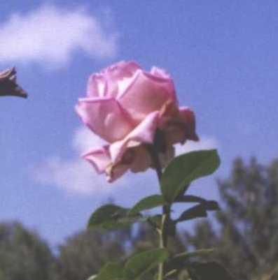 Роза (фото 200)