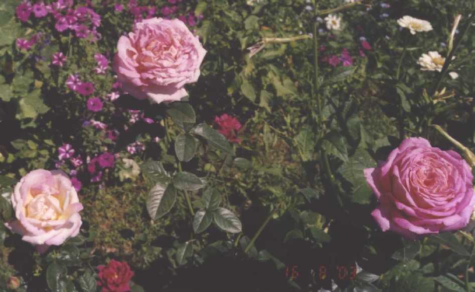 Роза (фото 201)