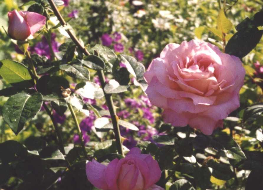 Роза (фото 210)