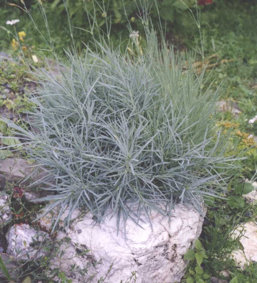 Гвоздика (фото 215)