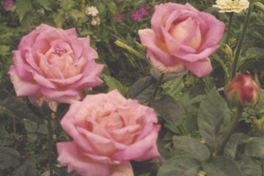 Роза (фото 223)