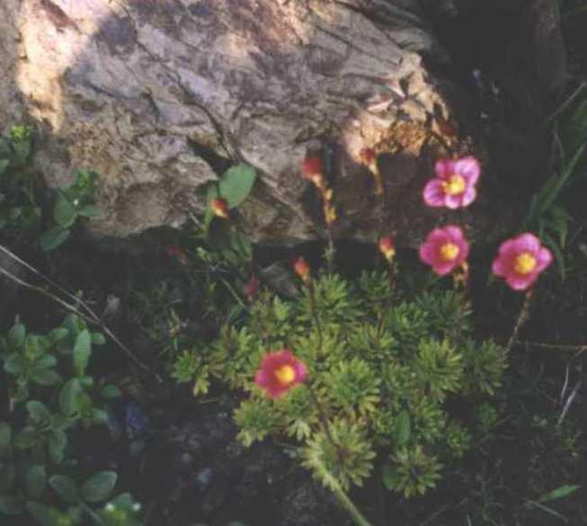 Камнеломка (фото 317)