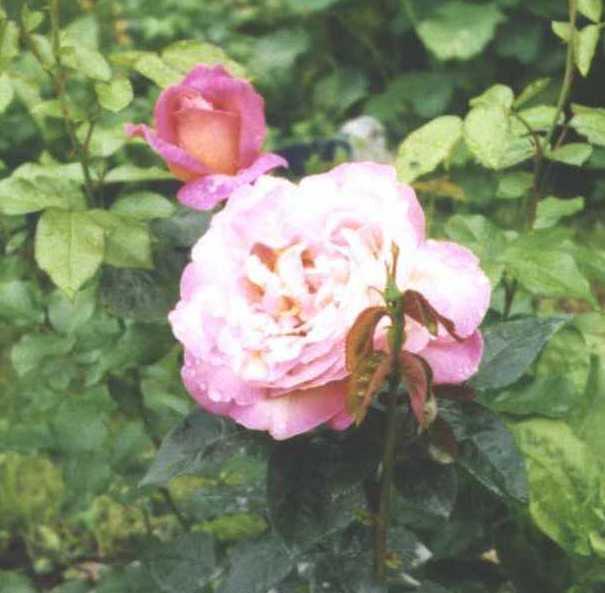 Роза (фото 411)