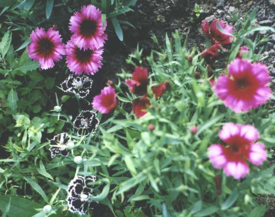 Гвоздика (фото 443)