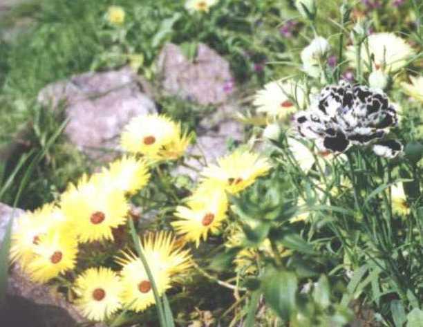 Гвоздика (фото 450)