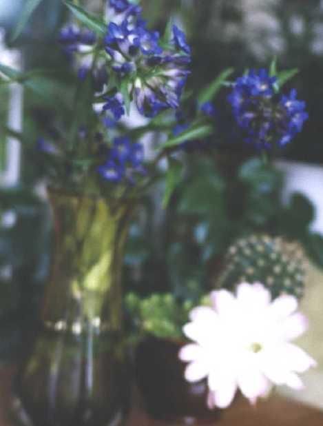 Горечавка (фото 521)