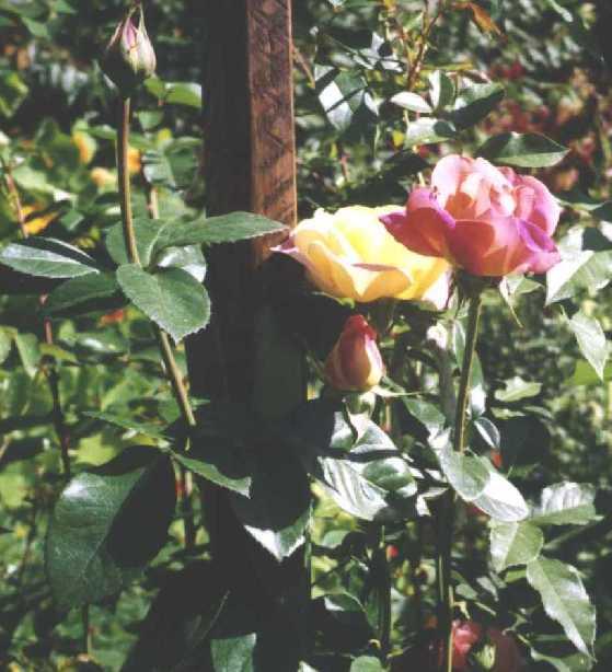 Роза (фото 569)