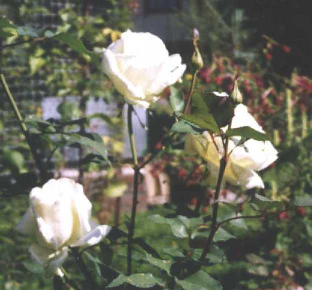 Роза (фото 571)