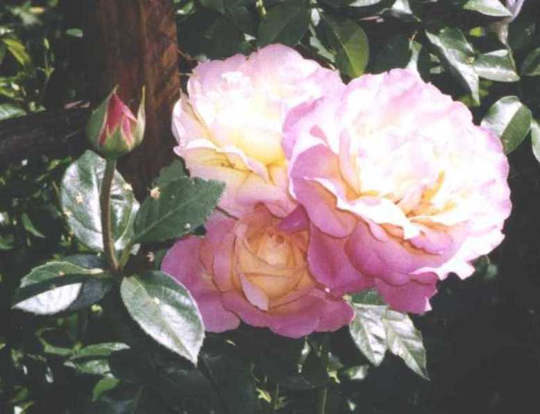Роза (фото 572)