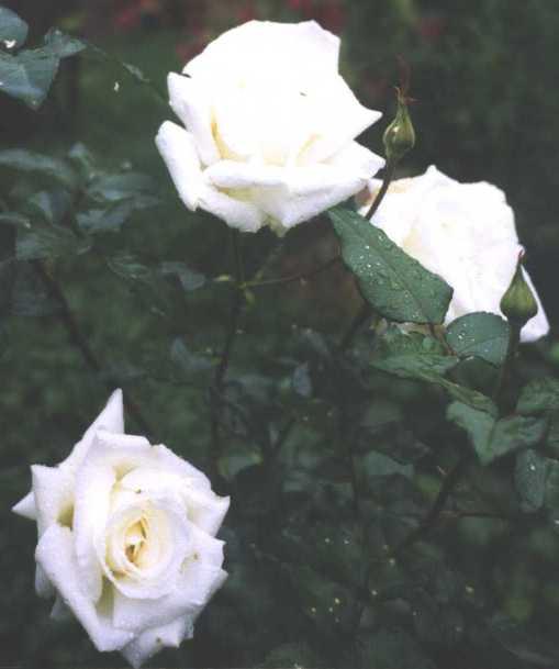 Роза (фото 577)