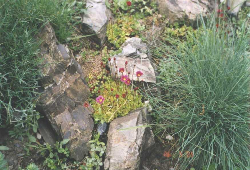 Камнеломка (фото 669)