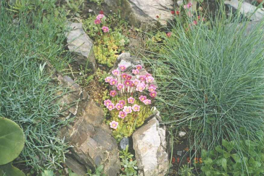 Камнеломка (фото 678)