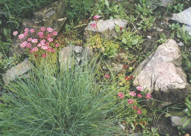 Камнеломка (фото 682)