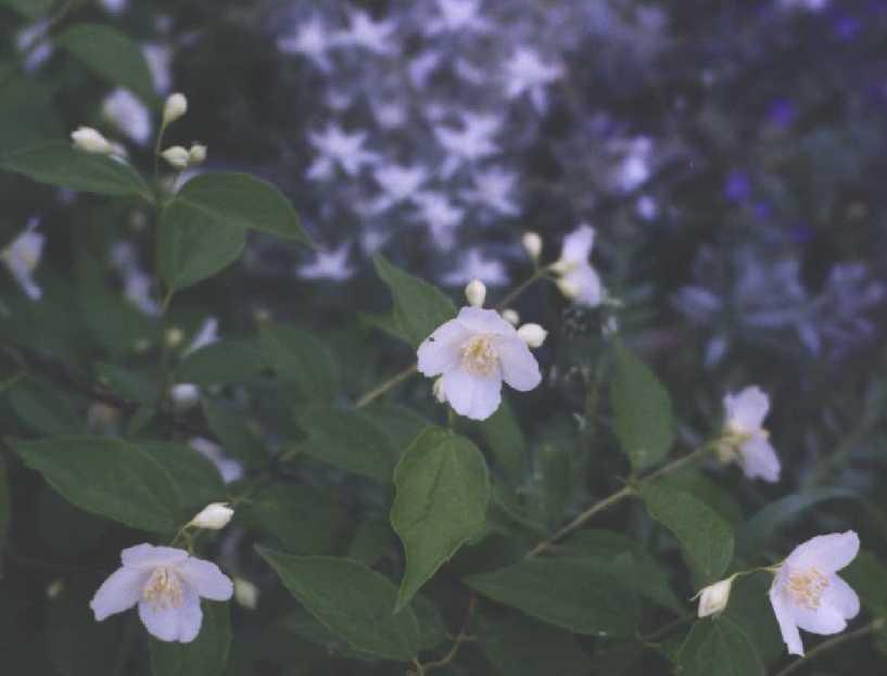 Чубушник (фото 773)
