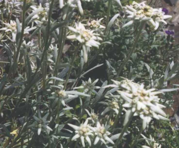 Эдельвейс (фото 823)