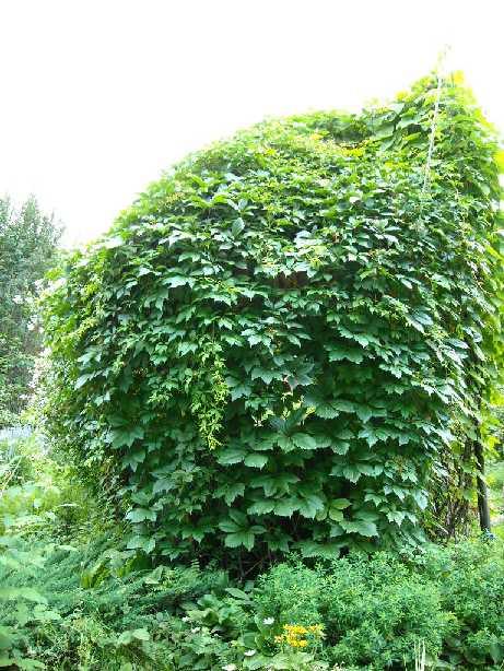 беседка, виноград девичий (фото 159)