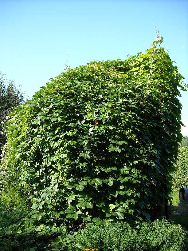 беседка, виноград девичий (фото 178)