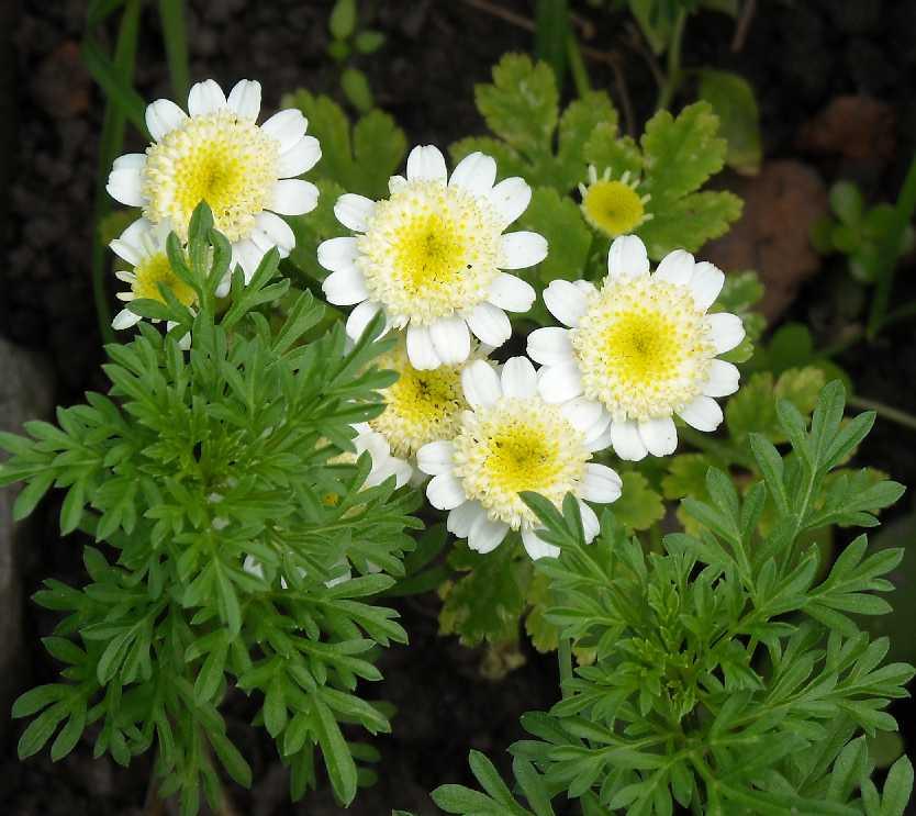 Фото цветка матрикария 153