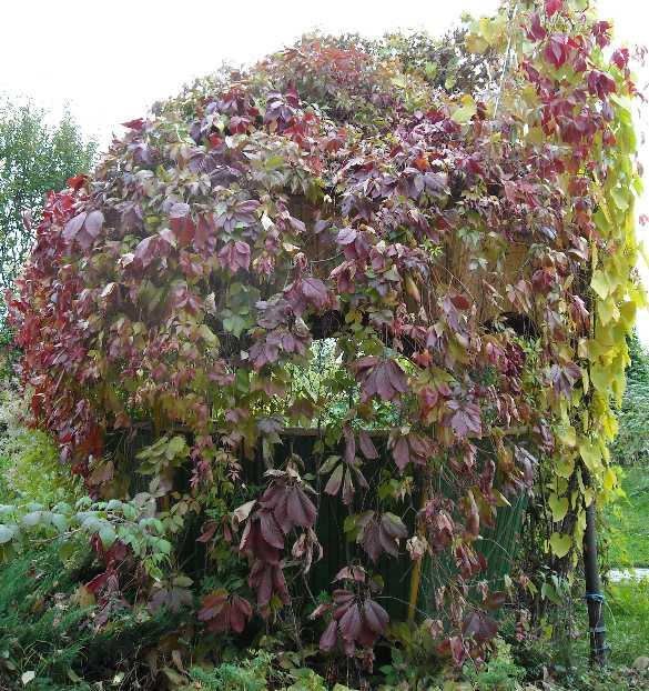 виноград, беседка (фото 528)