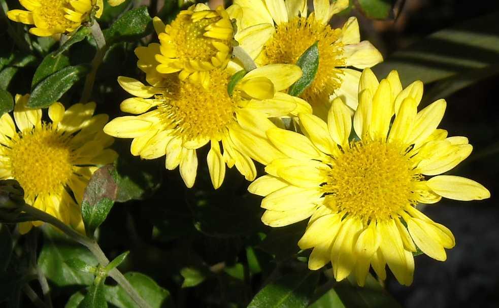 Хризантема (фото 559)