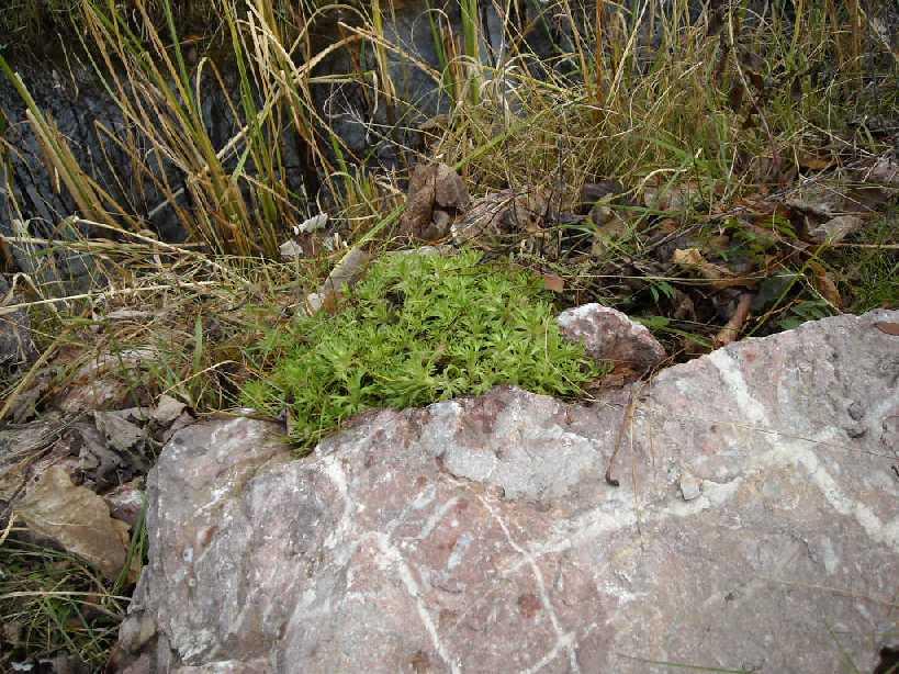 Камнеломка, пруд