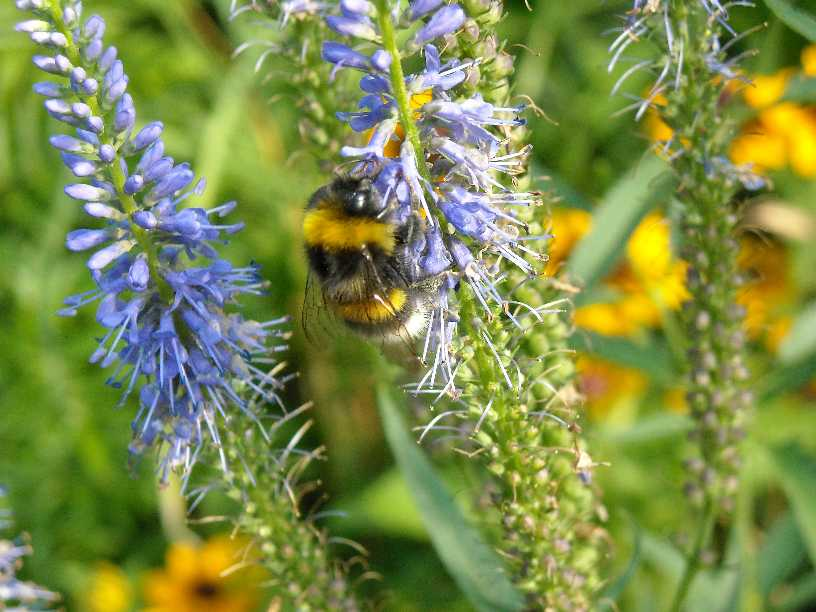 пчела (фото 641)